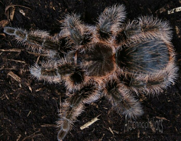 June, 2019 Tarantulas & Other Spiders Price List