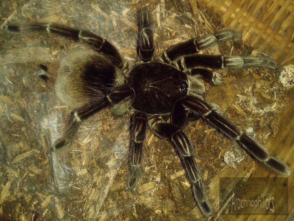 June, 2019 Tarantulas & Other Spiders Price List