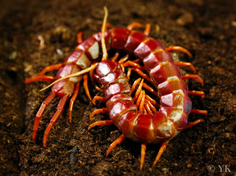 Giant Haitian Ruby Red Centipede (Scolopendra sp  Hispaniola)
